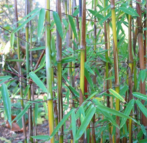 Odmiany bambusa mrozoodpornego
