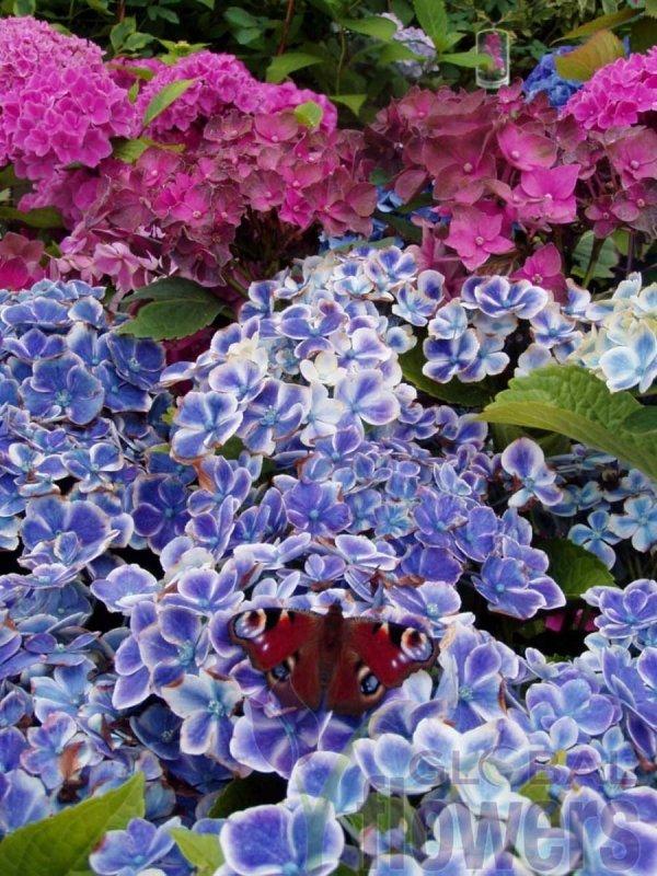 Hortensja o niebieskich kwiatach uprawa