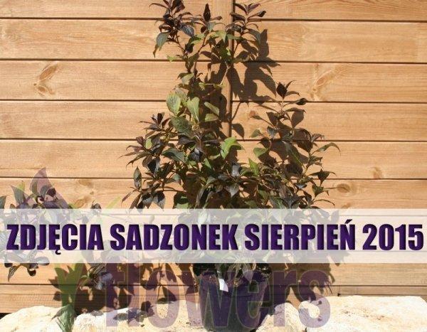 Krzewuszka cudowna 'Minor black ®' uprawa