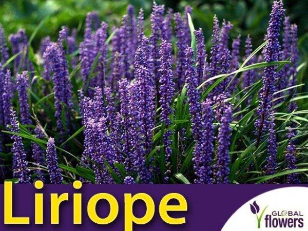 Liriope Szafirkowa (Liriope muscari) 'Big Blue'- Sadzonka