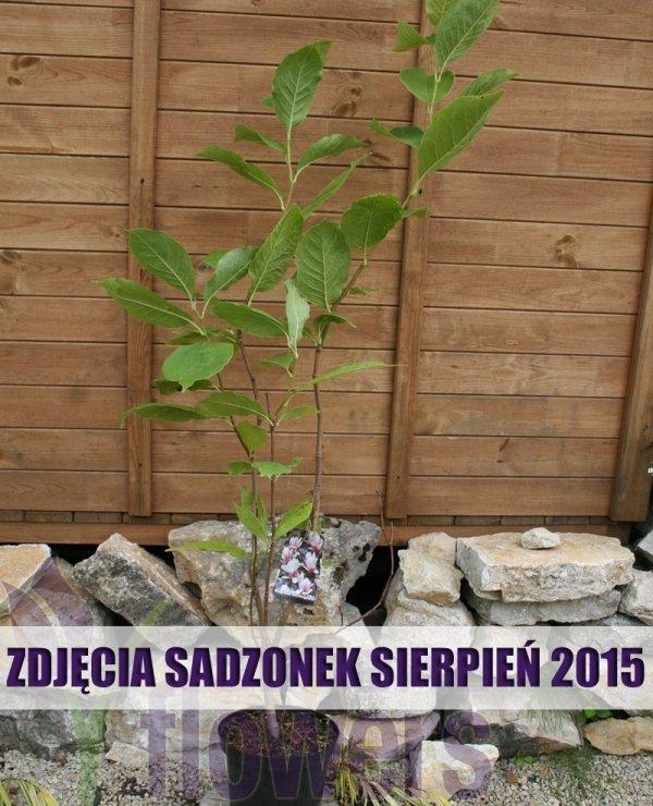 Magnolia Alba Superba