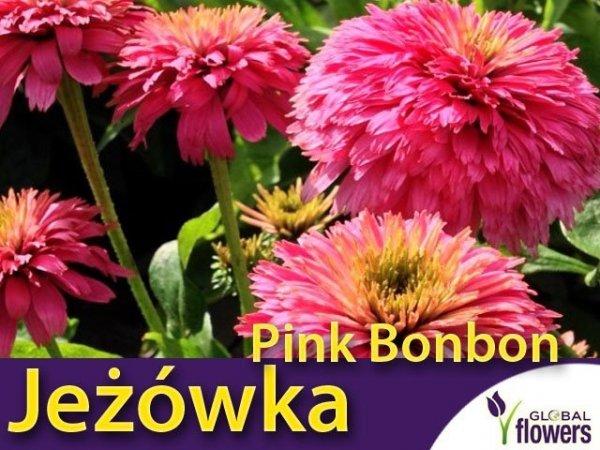 Jeżówka 'Pink Bon Bon' odmiana o pełnych kwiatach