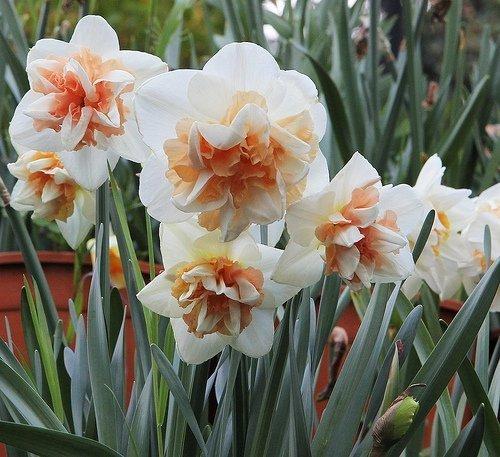 Narcyz pełny 'Delnashaugh' (Narcissus) CEBULKI