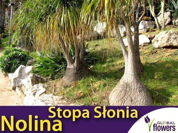 Nolina Stopa Słonia (Beaucarnea Recurvata) 0,3g