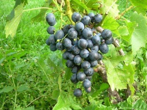 Winorośl Muscat Bleu sprzedaż wysyłkowa, sklep, cena