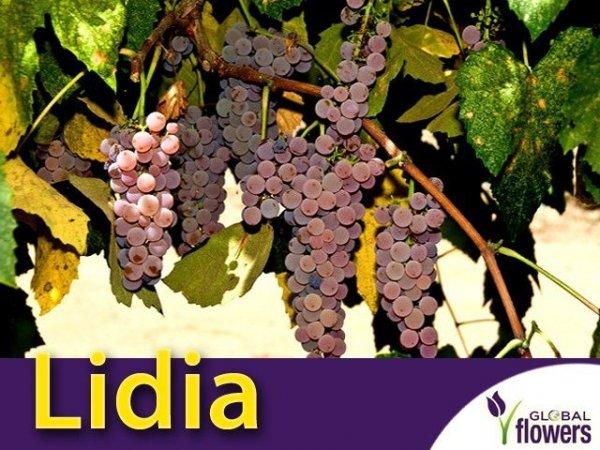 Winorośl Lidia Sadzonka - odmiana deserowa Vitis 'Lidia'