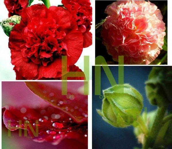 Malwa pełna (Alcea rosea) Prawoślaz mieszanka