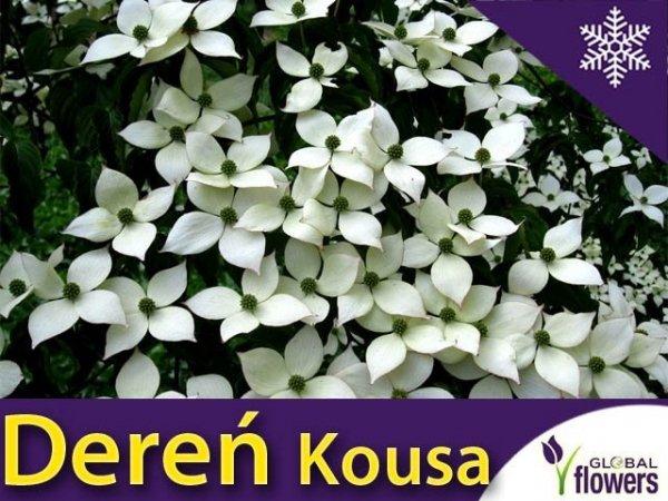 Dereń kousa odmiana chińska (Cornus kousa var. chinensis) sadzonka