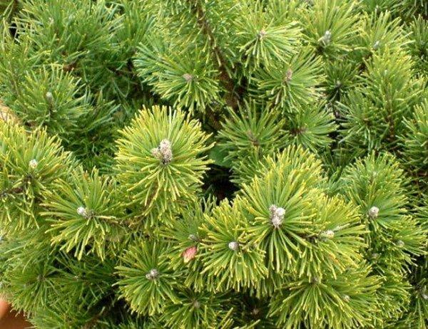 Kosodrzewina Sosna Górska (Pinus mugo)