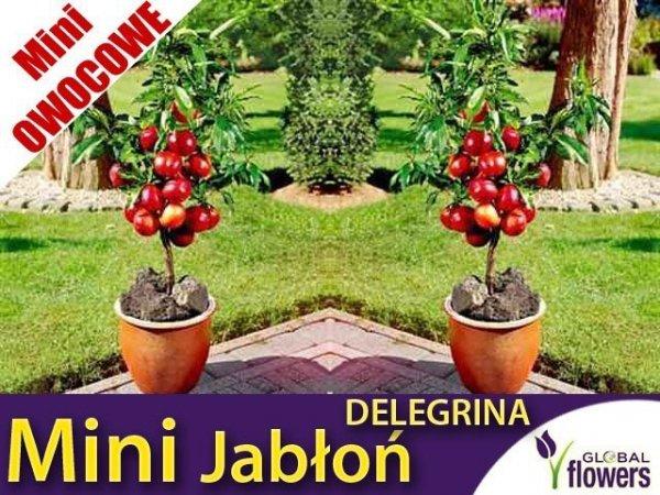 Mini Jabłoń 'Delegrina' (Malus) Sadzonka
