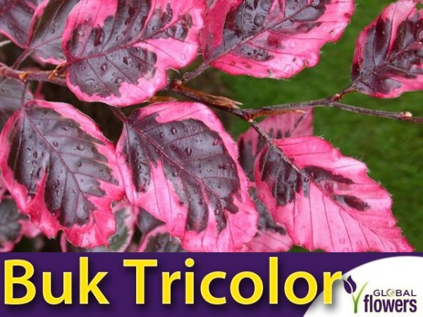 Buk pospolity 'Tricolor' (Fagus sylvatica) szczepiony Sadzonka