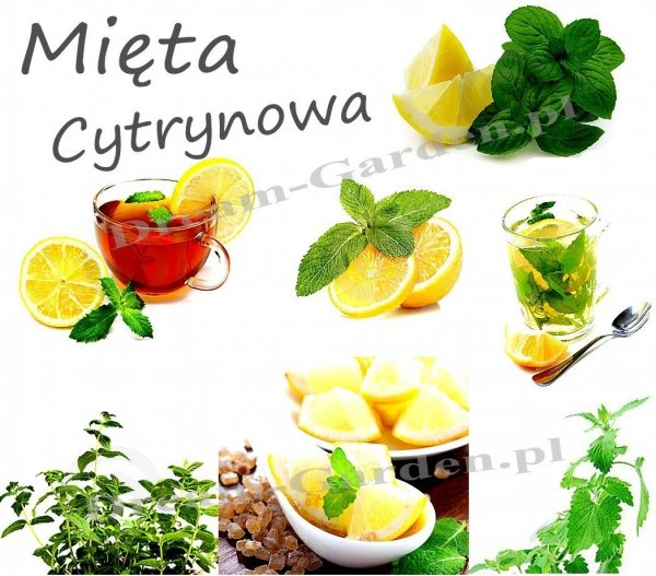 aromatyczna mięta do drinków