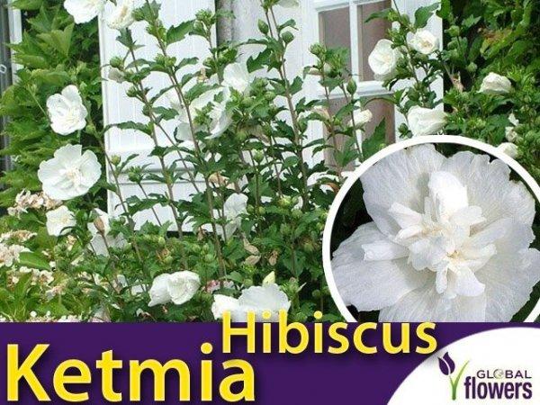 Ketmia syryjska 'White Chiffon' (Hibiscus syriacus) sadzonka