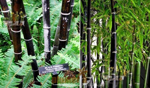 Bambus uprawa w doniczce