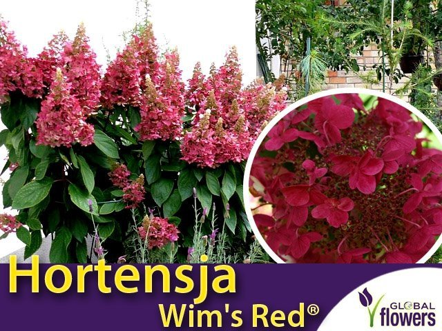 hortensja bukietowa cena 39 wim 39 s red 39 hydrangea paniculata sadzonka sklep ogrodniczy plumeria. Black Bedroom Furniture Sets. Home Design Ideas