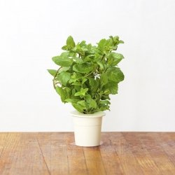 Kapsułki roślinne 3-pak mięta pieprzowa