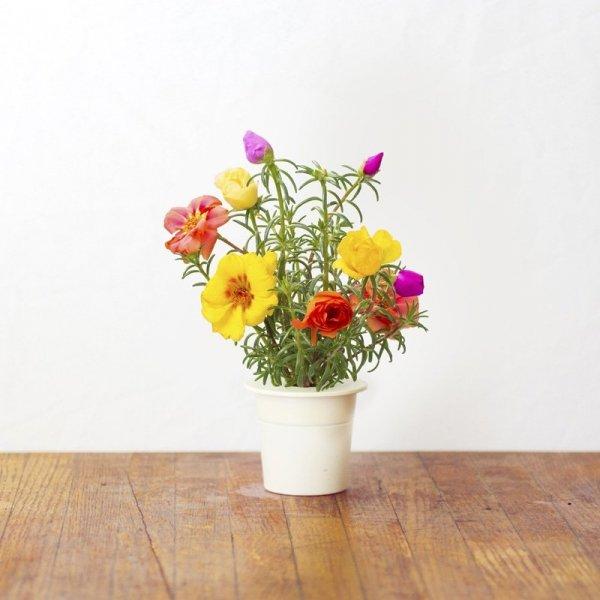 Kwiaty portulaki rozwijają się codziennie o tej samej godzinie
