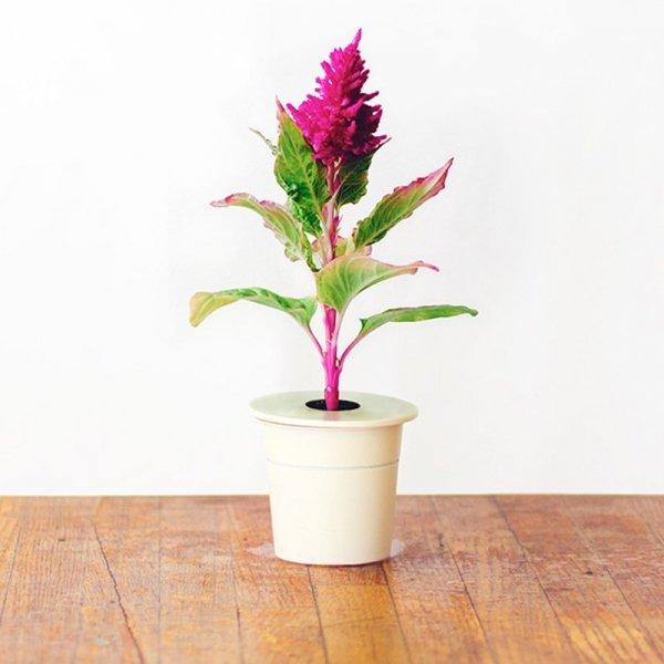 Kwiaty celozji są w różnych odcieniach przypominających kolory ognia
