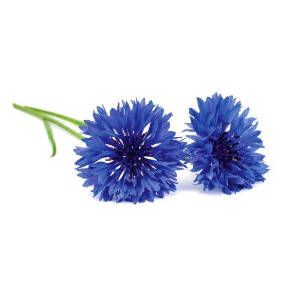 Piękne kwiaty chabru o intensywnej barwie
