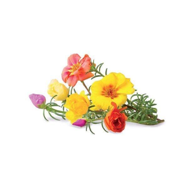 Portulaka jest rośliną znaną ze swoich kolorowych kwiatów