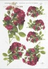 Rose, roses, wild rose, buds, leaves, bouquets, flowers,