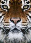 Fototapeta Tygrys - Fototapety ze zwierzetami sklep decoart24.pl