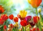 Fototapeta do kuchni - Wiosenne kwiaty - 254x183 cm