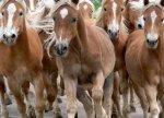 Fototapeta ścienna Konie w biegu - 183x254 cm