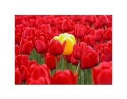 yellow tulip - reprodukcja