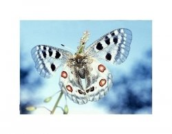 Motyl - Apollofalter - reprodukcja