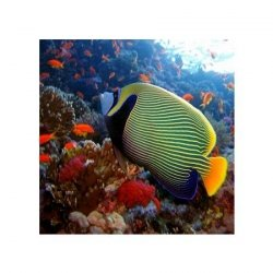 emperor angelfish - reprodukcja
