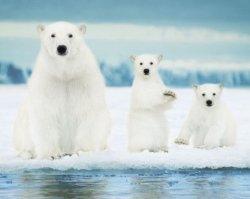 Niedźwiedzie polarne - plakat