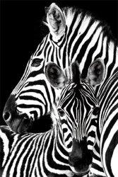 Zebry, Zebra - plakat
