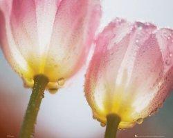 Różowe Tulipany Krople Wody - plakat