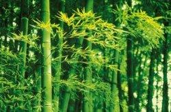Fototapeta na ścianę - Bambusy Wiosną - 175x115 cm