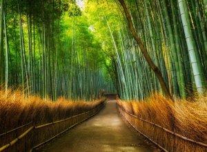 Fototapeta - Las Bambusowy